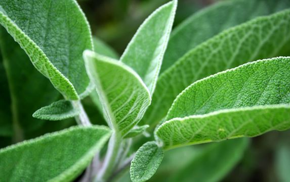 Sage leaves remedy for premature gray hair